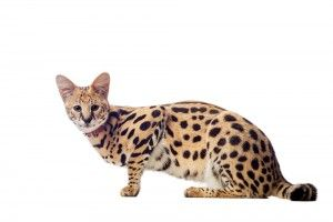 Caracal Cats For Sale In Usa