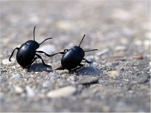 "Beetles holding ""hands"" are super cute"
