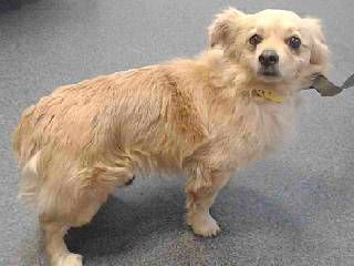 URGENT- MEET 18-15700 Chihuahua, long haired | Adult | Male | Small dog for adoption in CA