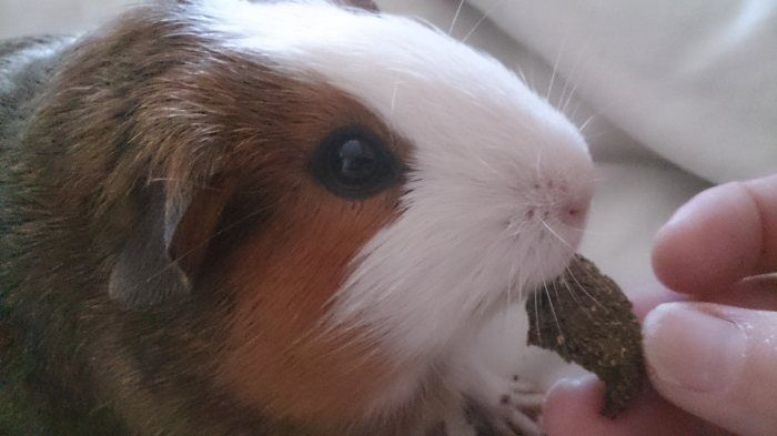 19 best images about guinea pig treats on pinterest cavy for Homemade guinea pig