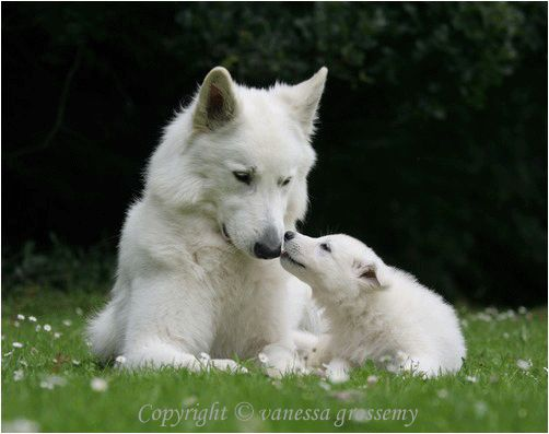 White Swiss Shepherd Dog / Berger Blanc Suisse!