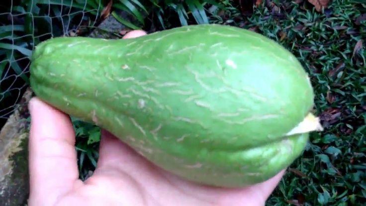 Como plantar Chuchu em casa