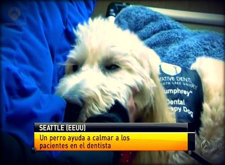 'Humphrey', el perro que ayuda a superar el miedo al dentista   Odonto-TV