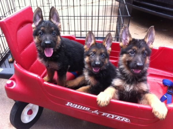 German Shepherd Pups in little red wagon   ...........click here to find out more     http://kok.googydog.com