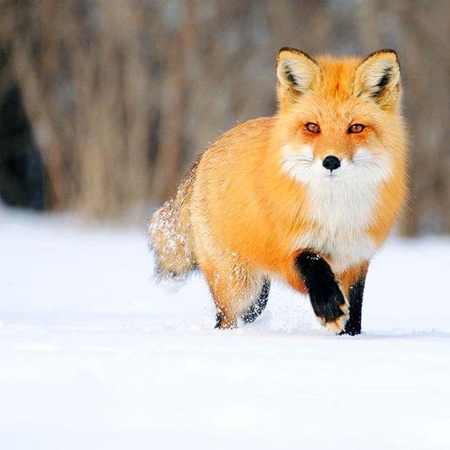 Lisichka Lisa Lisichka Priroda Zveryushka Rizhayakrasavica Fox Animal Renard Roux Renard Photo Renard