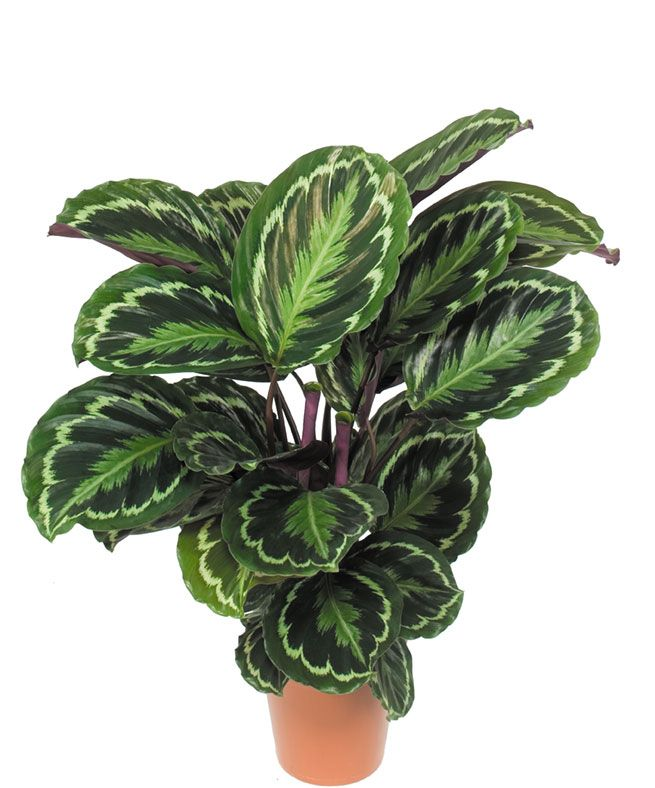 220 best r ver de verdure images on pinterest jars - Calathea entretien ...