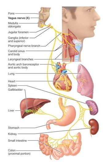 Vagus nerven – sådan stimulerer du vagus nerven. Nervus vagus er den længste nerve, som du…