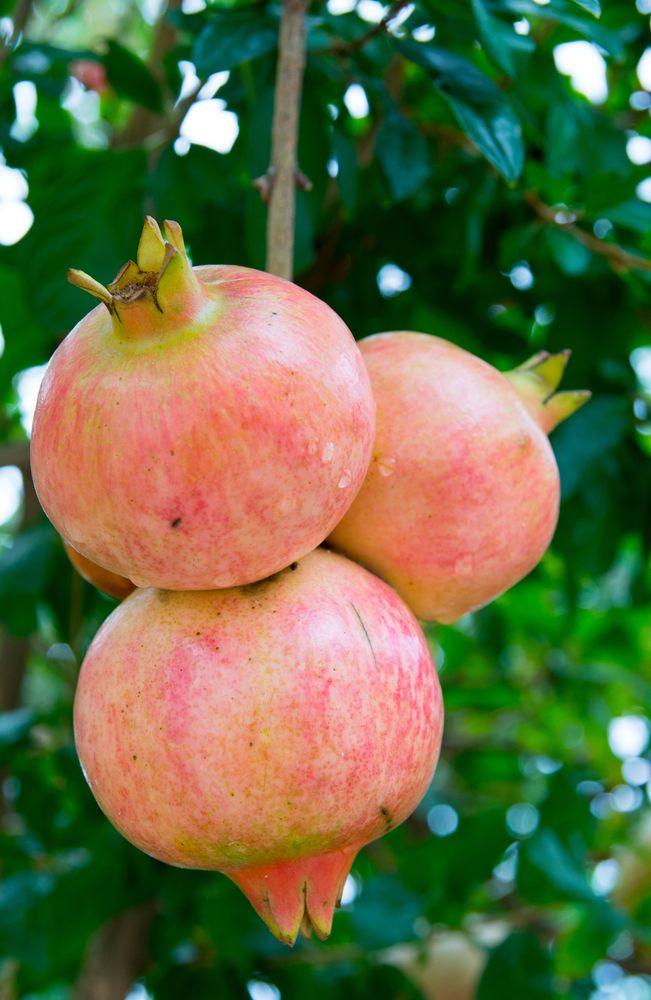 Eversweet Pomegranate 3-4' - Ison's Nursery and Vineyard