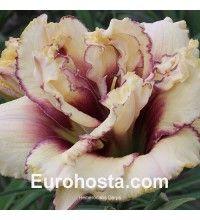 Hemerocallis Darya