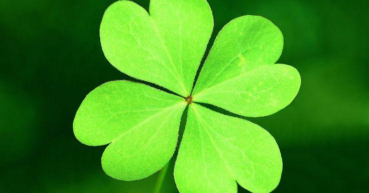 ¿Qué hacer con un trébol de cuatro hojas?. Considerado el original amuleto de la suerte, un trébol de cuatro hojas genuino de hecho viene de la planta de trébol blanco. Otras plantas, como la hierba de la pimienta o el trébol de agua naturalmente tienen cuatro hojas. Una manera de diferenciar a un trébol verdadero de cuarto hojas es que la cuarta hoja es un poco más pequeña que las otras ...