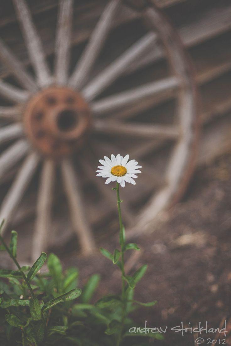 Daisy love......