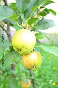 """EIN ERNTEPORTRÄT: """"Etwas Kurz-Gesagtes kann die Frucht und Ernte von vielem Lang-Gedachten sein."""" - Friedrich Nietzsche   Image: Apple Bliss © Stefanie Neumann - All Rights Reserved."""