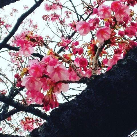 【桜・見頃】上野恩賜公園(東京都) / 2017/03/28 / あい さん | お花見写真館 | 桜名所 全国お花見1000景2017 - ウォーカープラス