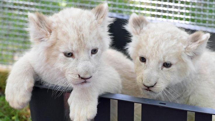 Zwei weiße Löwenbabys im Magdeburger Zoo