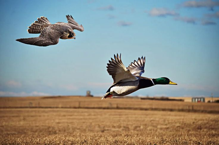 pictures of hunting falcons   Best Duck Hunting Video,Peregrine Falcon vs Ducks - YouTube