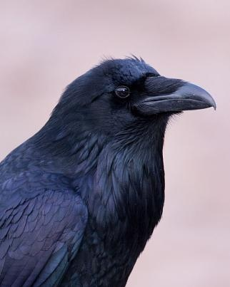 Ravens are quite fascinating, aren't they? They look so knowing.