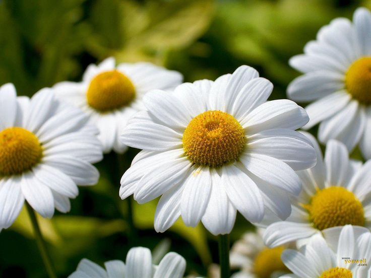 "Daisies...""Don't you think daisies are the friendliest flower?"""