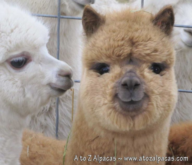 Alpaca babies, smiling and posing pretty! #Alpacas A to Z Alpacas