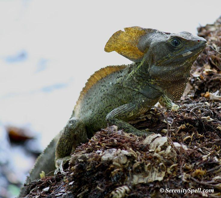 Basilisk Lizard (Jesus Lizard), Florida Wetlands