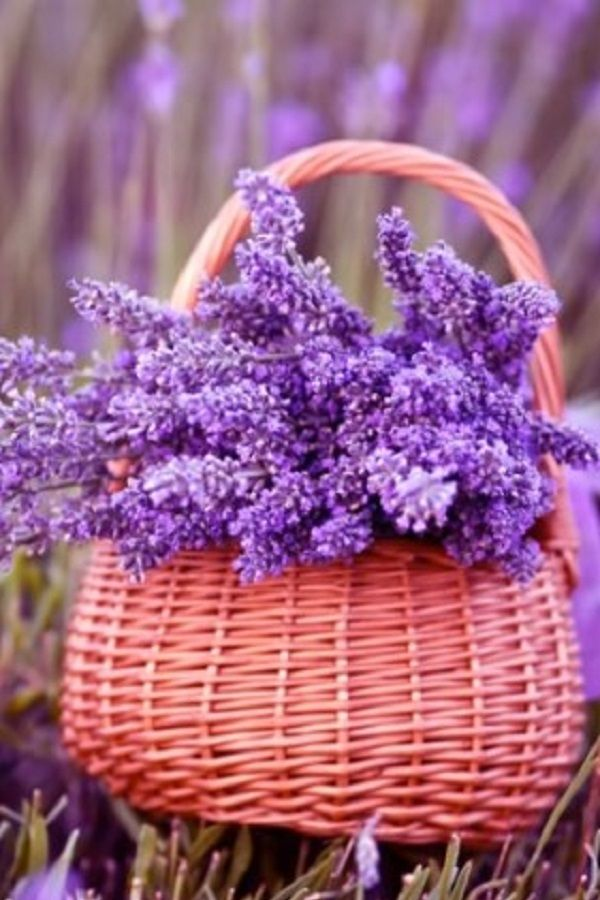 100 Ideas The Most Beautiful Lavender Flowers In The World Video Lavender Basket Lavender Flowers Buy Flowers Online