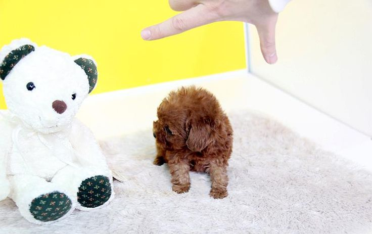 Teacup Poodle #micropoodle 2.5lbs Fully Grown. Could be ...