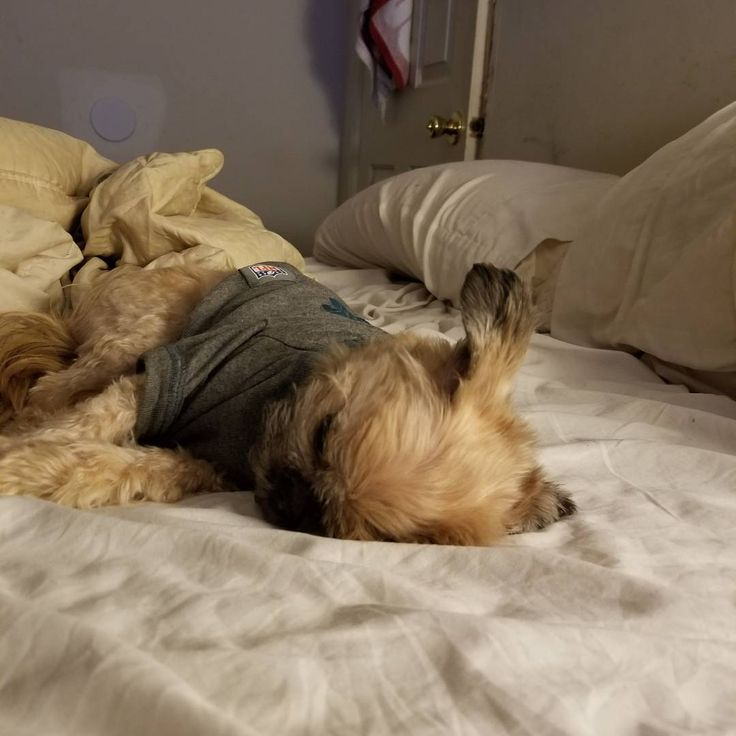 Sleep with one ear open! #doggo #pupper #everydayimbrusselin #everydayimbrusseling #brusselsgriffon #its5oclocksomewhere #stylish #mensfashion #imadorable #griffdog #instapets #dogsofinstagram #dogstafram #smalldogbigworld #tinypawshugeheart #pupper #doggo #griffdog #dogaracts #cataracts #rolex #phillyeagles #philadelphiaeagles