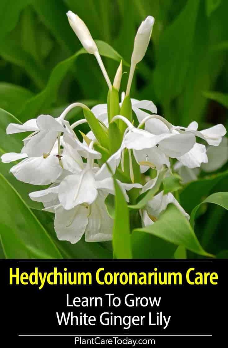 Hedychium Coronarium Info How To Grow White Ginger Lily Ginger Plant Flower Lily Plants Ginger Flower
