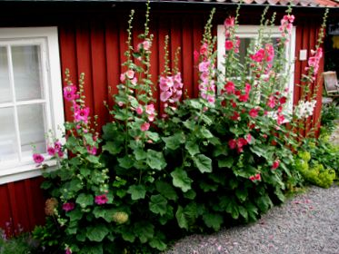 "Hollyhocks (""stockrosor"") - a must in your cabin garden in Sweden."