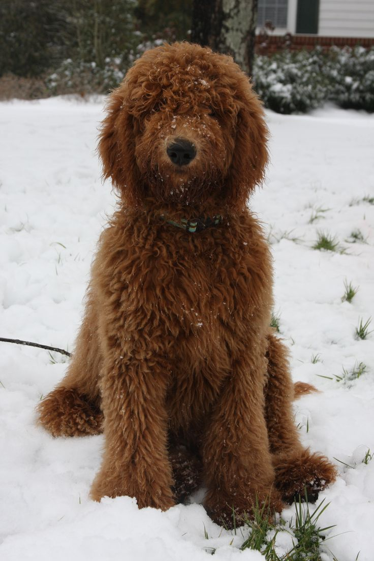 Goldendoodle or teddy bear. who cares give him a cuddle.... Connor told me he's saving his money up for one of these :)