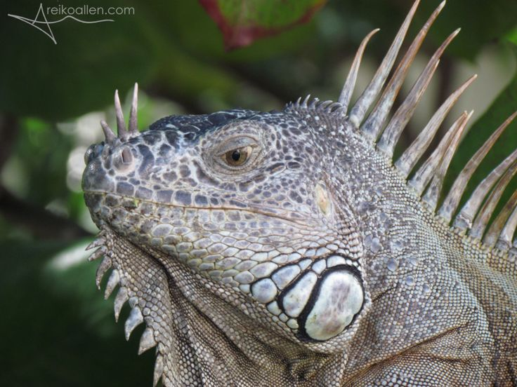 A few photos of #iguanas at the #RioCuale area of #PuertoVallarta #AmoPV #LovePV