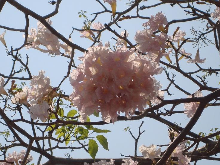 45 best images about arbustos con flores on pinterest - Arbustos con flores ...