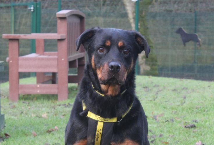 Adopt A Dog Lexi Rottweiler Dogs Trust With Images Dogs Dog Adoption Rehoming