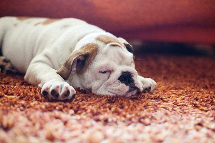 What to Spray on Carpet to Keep Dogs From Peeing | Cuteness.com