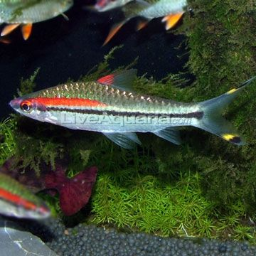 Denison Barb (Roseline shark)
