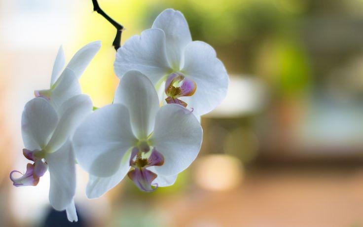 Скачать обои цветы, ветка, лепестки, орхидеи, белые, раздел цветы в разрешении 1440x900