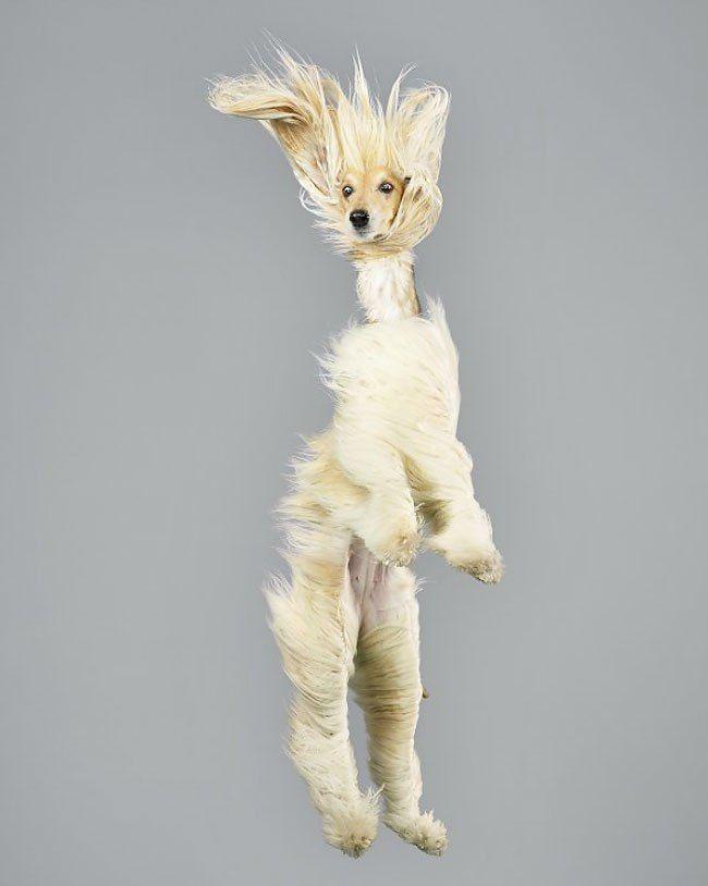 Собаки, парящие в воздухе http://artlabirint.ru/sobaki-paryashhie-v-vozduxe/  Веселые портреты собак, парящих в воздухе. {{AutoHashTags}}