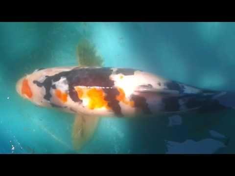 621 Best Koi Fish Images On Pinterest Koi Fish And Fishing