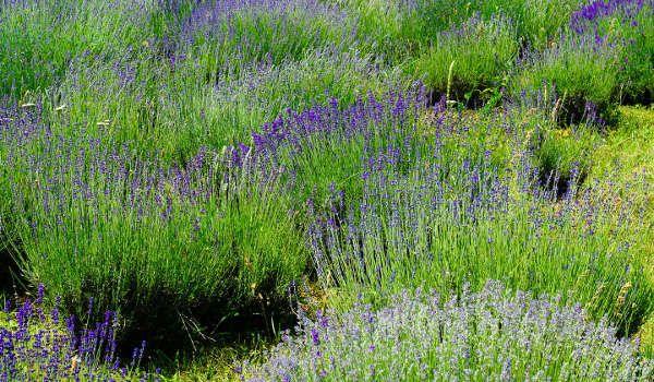 17 meilleures id es propos de plante anti mouche sur for Anti puceron maison