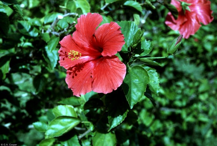 President (Hibiscus Rosa Sinensis) - Zone 9-10. (Dies back to ground with freeze.) Full to Part Sun. 10' Height 5' Width.  Blooms spring through Fall. Fast growing. Moderately fertile, well drained, and slightly acidic soil is ideal. Propagate by cuttings.