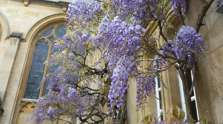 Glorious wisteria in our Main Quad - univ.ox.ac.uk
