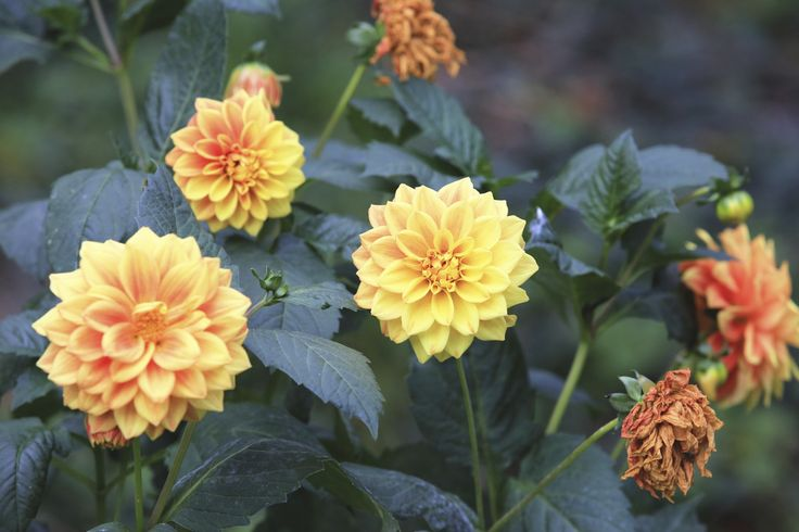 Dahlias are most commonly started from tubers, but you can collect seed to grow too. You will need a little patience though, as dahlia flower seeds take several seasons to produce blooms, but the effort is fun. This article will help.