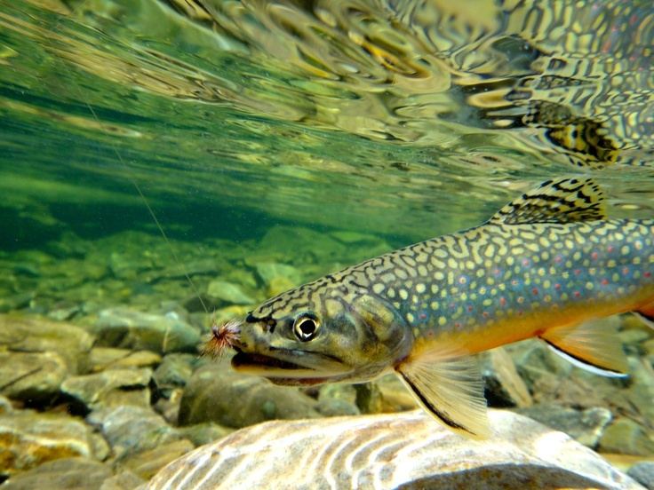 10 best crested butte trout images on pinterest crested for Best trout fishing near me