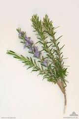 Sprigs of Rosemary are worn on Anzac Day and Remembrance Day and has particular significance as it is found growing wild on the Gallipoli peninsula.