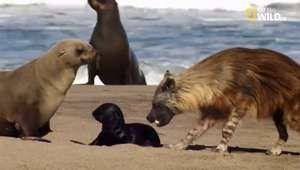 Tosca: storia di una #Iena, Into the Wild - NatGeoFan #Video