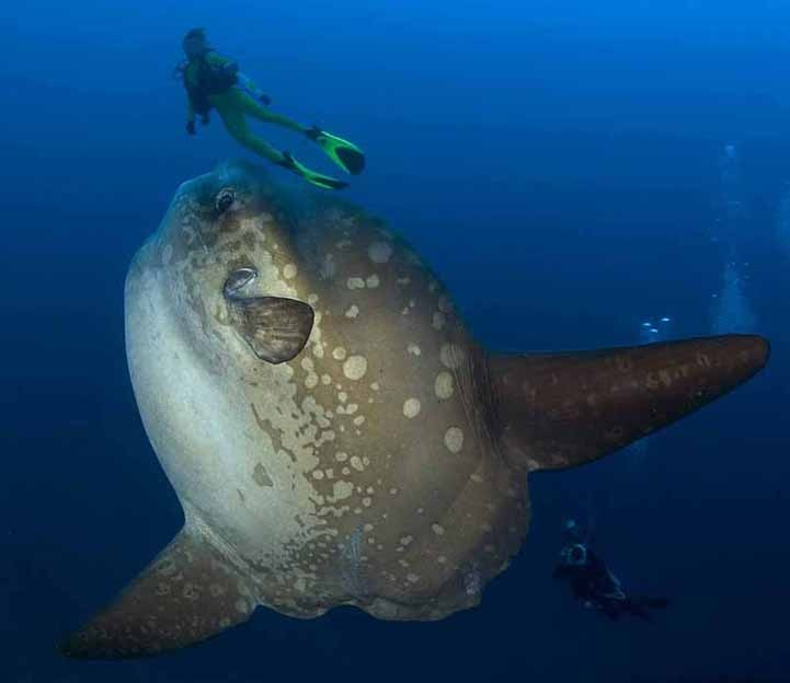 17 best images about mola mola fish on pinterest sun for Mola mola fish