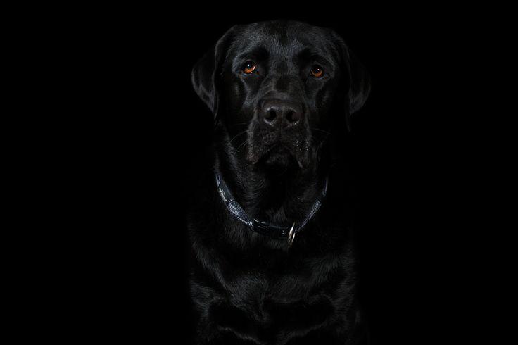 Max - Labrador Retriever © www.thebeingproject.co.za