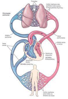 Die besten 25+ Anatomia cardiovascular Ideen auf Pinterest