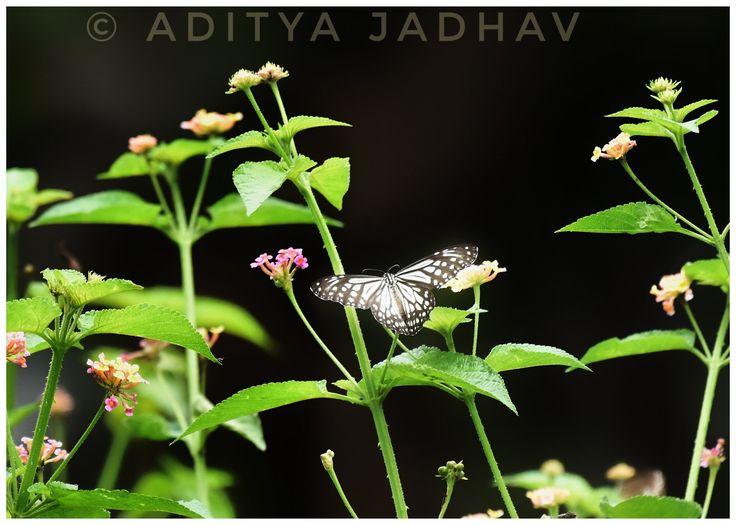 Blue Tiger Butterfly kolhapur Nikon Photography
