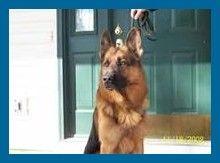 Cachorros De Pastor Aleman Cachorros De Pastor Aleman Criadores De