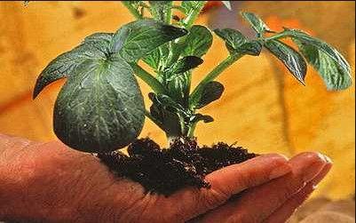 Клубень клубню рознь или как развести новый сорт картофеля